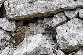 Dunnock (Prunella modularis) juvenile on the ground, Jura, Switzerland