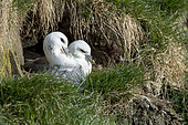 Northern Fulmar (Fulmarus glacialis) couple at nest, Iceland