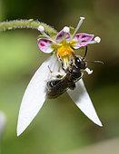 Andrène (Andrena subopaca) femelle sur Saxifrage, Nantes, Pays de Loire, France