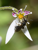 Impunctate Mini-mining Bee (Andrena subopaca) femelle on saxifrage, nates, Pays de Loire, France