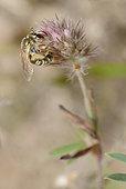 Mining bee (Halictus leucaheneus) female on clover, Northern Vosges Regional Nature Park, France