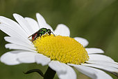 Gold wasp (Hedychrum nobile) male on Daisy, Northern Vosges Regional Nature Park, France