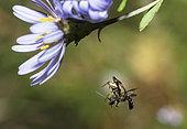 Goldenrod Spider (Misumena vatia) catching a Mining bee (Lasioglossum sp) on Italian Starwort (Aster amellus), Northern Vosges Regional Nature Park, France