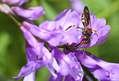 Cuckoo bee (Nomada alboguttata) on Tufted Vetch (Vica cracca), Natural Park of the Vosges du Nord, France