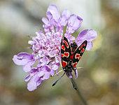 Eastern Burnet (Zygaena carniolica)on Scabieusia (Scabiosa sp), Serre-Chevalier, Alps, France