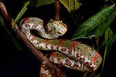 Eyelash pit viper (Bothriechis schlegelii), From Belize to Peru