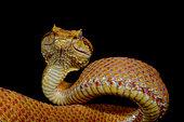 Portrait of Eyelash pit viper (Bothriechis schlegelii), From Belize to Peru