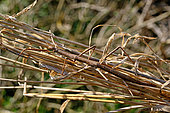 French stick insect (Clonopsis gallica), Mediterrranean Europe