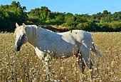 Conneara pony (Equus caballus). From Ireland