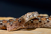 Portrait of Ocellated carpet viper (Echis ocellatus), From Mauritania to Cameroon.