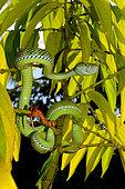 Hagen's pit viper (Trimeresurus hageni), Sumatra, S.E. Asia