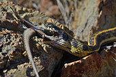 Checkered Garter Snake eating a Yarrow spiny lizard ( Sceloporus jarrovii) Chiricahua mointains. Arizona