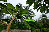 Sabah pit viper (Trimeresurus sabahi), Siberut island, West Sumatra