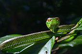 Portrait of Sabah pit viper (Trimeresurus sabahi), Siberut island, West Sumatra
