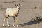 Arabian oryx (Oryx leucoryx) young, Saudi Arabia