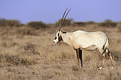 Arabian oryx (Oryx leucoryx), female, Saudi Arabia