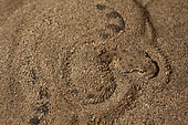 Arabian horned viper (Cerastes gasperettii) on the lookout in the sand, Saudi Arabia
