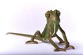 Common chameleon (Chamaeleo chamaeleon orientalis) on white background
