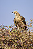 Western marsh harrier (Circus aeruginosus) on a tree, Saudi Arabia