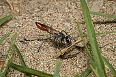 Sand Wasp (Podalonia tydei) carrying a twig, Saudi Arabia