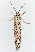 Crimson speckeld footman (Utetheisa pulchella), Saudi Arabia