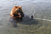 Kamchatka Bear (Ursus arctos beringianus) and telephone - Lake Kourile, Kamchatka, Russia