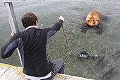 Photographer and camera immersed in front of a Kamchatka Bear (Ursus arctos beringianus) - Lake Kourile, Kamchatka, Russia