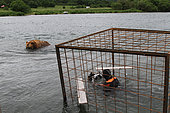 Photographer in a submerged protection cage and Kamtchatka bear (Ursus arctos beringianus) - Lake Kourile, Kamchatka, Russia