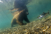 Bear of Kamchatka (Ursus arctos beringianus) underwater - Kourile Lake, Kamchatka, Russia