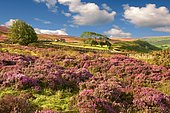 Heather blooming on the Fryup Dale moor, North York Moors National Park, North Yorkshire, England, United Kingdom, Europe