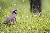 Red-legged Partridge (Alectoris rufa) in grass, Andujar Natural Park, Jaen, Spain