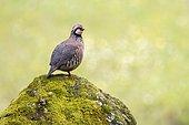 Red-legged Partridge (Alectoris rufa) on rock, Andujar Natural Park, Jaen, Spain
