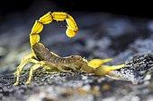 Yellow scorpion (Buthus occitanus), Cazorla Natural Park, Jaen, Spain