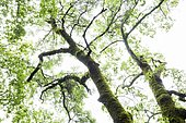 English oak (Quercus robur), Sierra Madrona Natural Park, Ciudad real, Spain