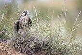Peregrine Falcon (Falco peregrinus) in grass, Madrid, Spain