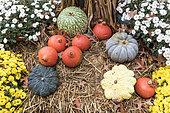 Chrysanthèmes, potimarrons et diverses courges dans un jardin en automne, Allemagne