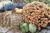 Chrysanthèmes et courges dans un jardin en automne, Allemagne