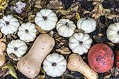 Courges Baby boo, butternut et potimarrons sur lit de feuilles mortes en automne, Allemagne