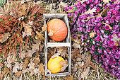 """Potimarrons et courge """"Table gold"""" sur lit de feuilles mortes et bruyère colorée en automne, Allemagne,"""