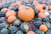 """Récolte de potirons, potimarrons et courges """"Table ace"""" en automne, Allemagne"""