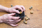 Plantation of an acorn, France,