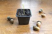 Oak sprout in a jar