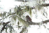 Pygmy Owl (Glaucidium passerinum) backlit, resting on a branch covered with lichens in a snowy coniferous forest of Haute-Savoie, Alps, France