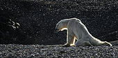 Skinny and exhausted Polar bear (Ursus maritimus) on the shore, Spitzbergen, Norway, August 2016