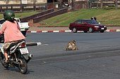 Long-tailed macaque (Macaca fascicularis) in the middle of a crossroads in Lopburi, Thailand