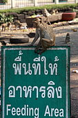 Long-tiled macaque (Macaca fascicularis) on the panel of a feeding area of macaques in Lopburi, Thailand