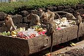 Long-tailed macaque (Macaca fascicularis) feeding on fruits and grains , Thailand