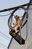 Long-tailed macaque (Macaca fascicularis) playing the tightrope walker, Thailand