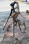 Long-tailed Macaque (Macaca fascicularis) 'photographers', Thailand