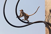 Long-tailed Macaque (Macaca fascicularis) from pilfering seed bags, Thailand